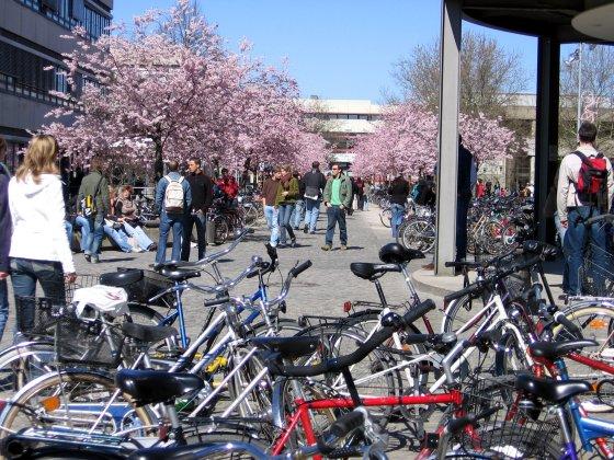 Kirschblüte Göttinger Campus